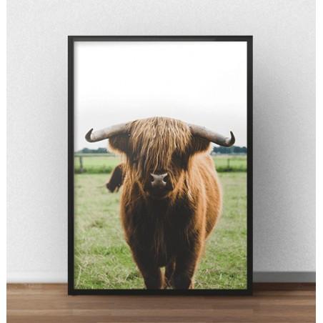 """Plakat z krową """"Highland cattle"""" (2 wersje)"""