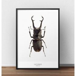 """Plakat z żukiem """"Jelonek rogacz"""" do powieszenia na ścianie"""