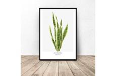 "Plakat z rośliną ""Sansevieria"""