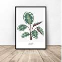 """Plakat z rośliną """"Calathea roseopicta"""""""