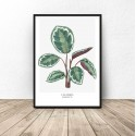Poster with plant Calathea roseopicta