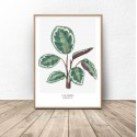 Poster with plant Calathea roseopicta 2
