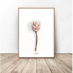 """Plakat z kwiatem """"Protea"""""""