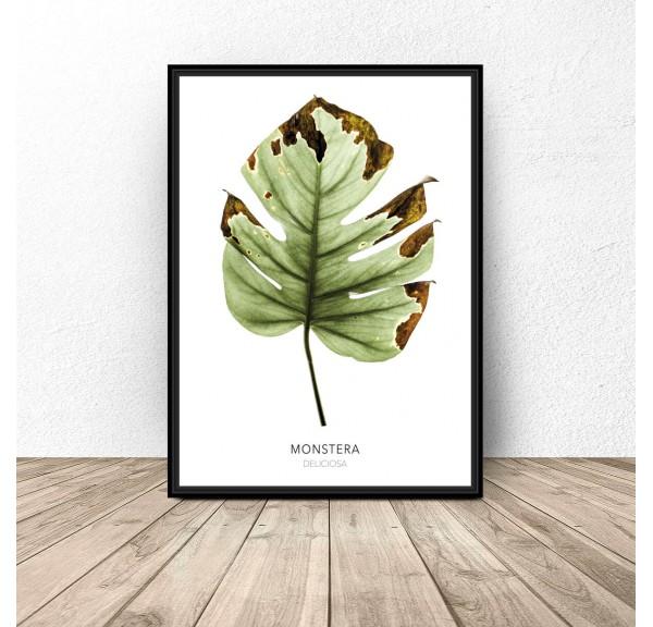 Plakat botaniczny Monstera