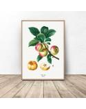 Plakat do kuchni i jadalni Jabłka 2
